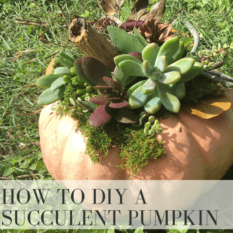 DIY Succulent Pumpkin with our tutorial and inspiration | Wildflowers and Wanderlust