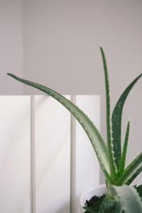 Aloe Vera is a great treatment for dry skin | All Natural Moisturizers | WildflowersAndWanderlust.com