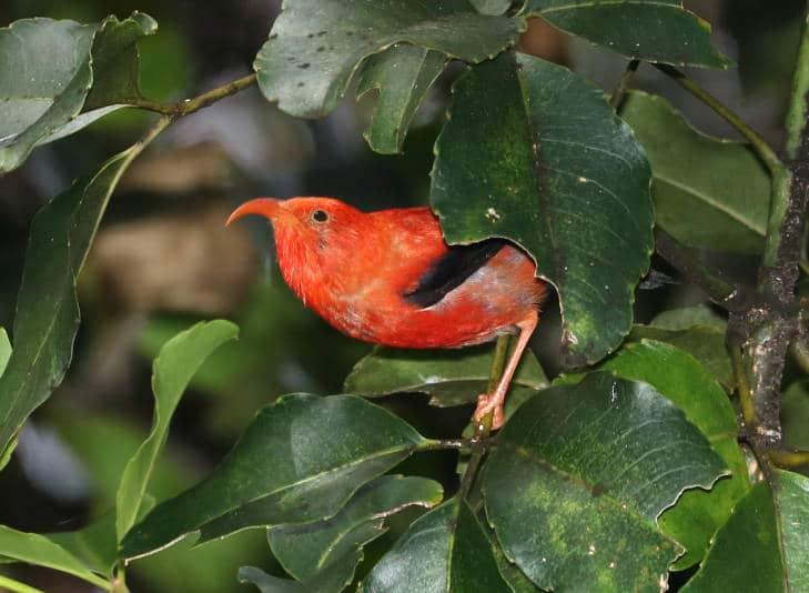 I'iwii bird | WildflowersAndWanderlust.com