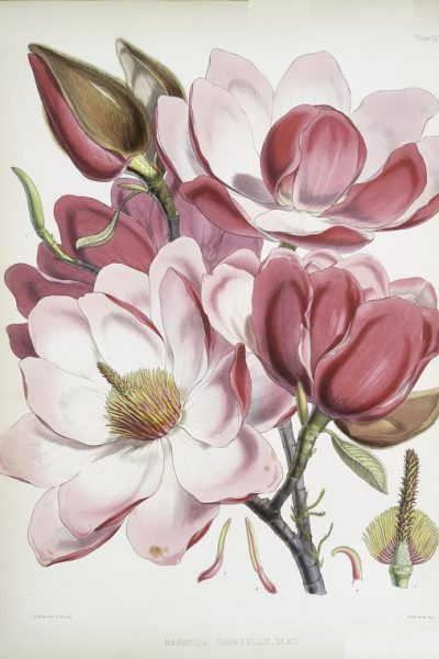 Vintage Magnolia Art Print from the New York Public Library featured on WildflowersAndWanderlust.com