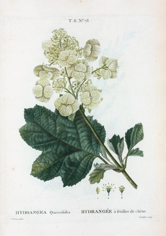 Vintage Hydrangea Art Print from the New York Public Library featured on WildflowersAndWanderlust.com