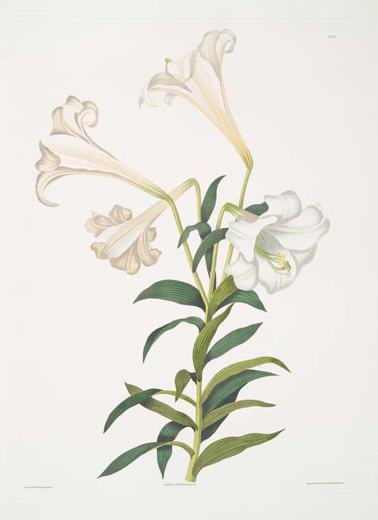 Vintage Art Print of an Easter Lily from the New York Public Library featured on WildflowersAndWanderlust.com