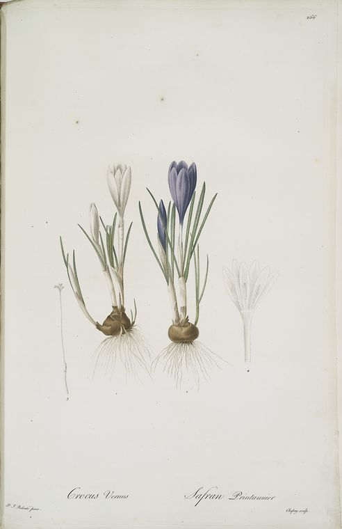Vintage Crocus Art Print by the New York Public Library featured on WildflowersAndWanderlust.com