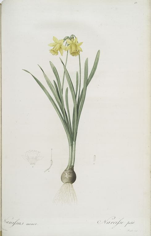 Vintage Daffodil Print in the New York Public Library featured on WildflowersAndWanderlust.com